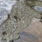 Junge Erdkröten (Lungern, 2013)