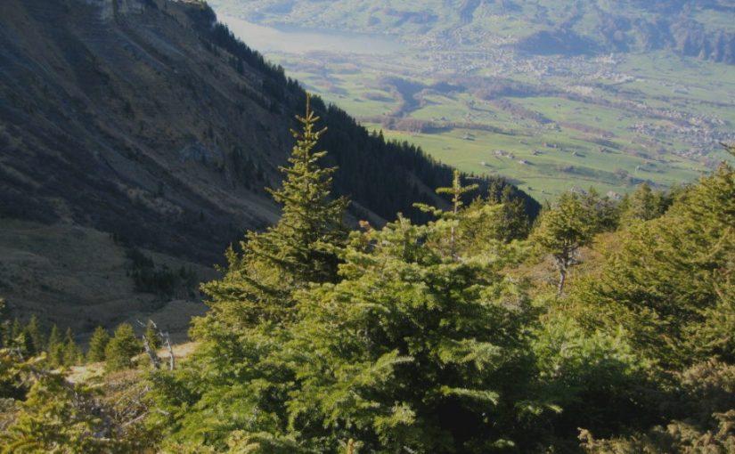 Höhenverbreitung Tanne (Weisstanne, Abies alba)