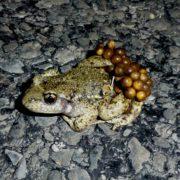 Glaubenbielen OW: Geburtshelferkröte (= Glögglifrosch): Eiertragendes Männchen (2013)