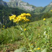 Senecio alpinus (Alpen-Greiskraut)