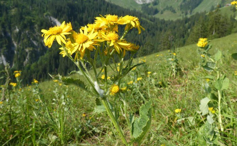 Verunkrautung Alpenkreuzkraut im Gebiet Rieter, Wolfenschiessen