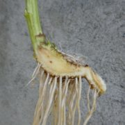 Rhizom von Senecio alpinus