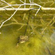Erdkröten beim Laichgeschäft